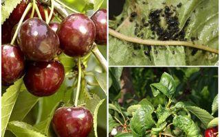 Wie man Blattläuse auf Kirschen und Kirschen loswird
