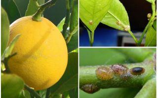 Wie man mit dem Schild auf einer Zitrone umgeht