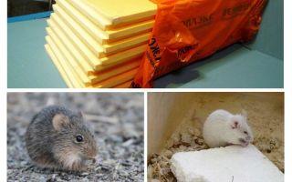 Ob Mäuse Penoplex essen