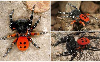 Beschreibung und Fotos von Spinnen auf der Krim