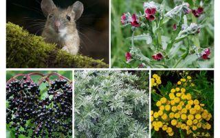 Gras von Mäusen