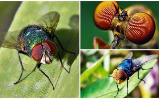 Wie viele Frames pro Sekunde sieht eine Fliege und wie viele Augen hat sie?