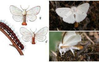 Beschreibung und Foto von Schmetterling und Raupen