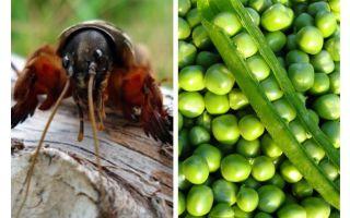 Kämpfe mit den Medvedka-Frühlingserbsen