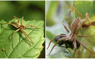 Wie viele gewöhnliche Spinnen leben in einer Wohnung und in der Natur