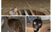 Wie man eine Ratte im Haus fängt