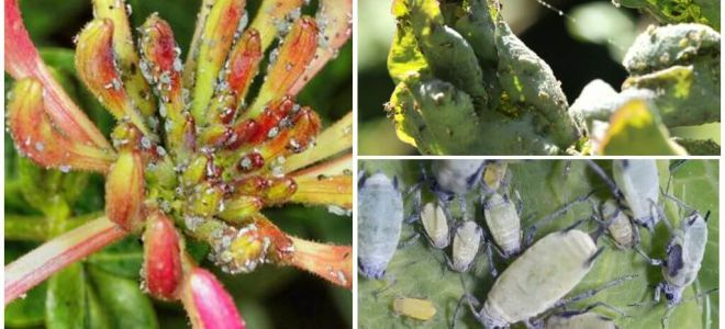 Wie man mit Blattläusen auf Geißblattvolk und Einkaufsmitteln umgeht