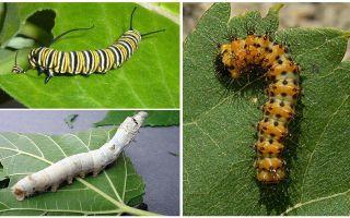 Beschreibung der Raupen, ihrer Nahrung und ihrer Struktur