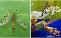 Große Mücken mit langen Beinen (Cans)