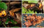 Große Hornissen: Riesige asiatische und schwarze Hornissen