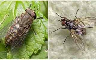 Beschreibung und Foto beißt Fliegen