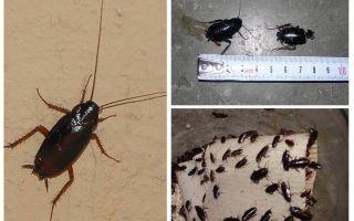 Wie man die großen schwarzen Kakerlaken in der Wohnung loswird