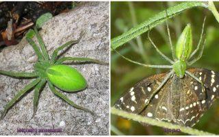 Grüne Spinnen in Russland