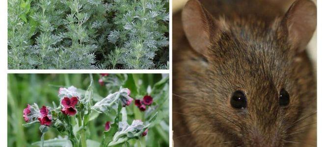 Volksmedizin für Mäuse
