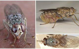Beschreibung und Foto von Tsetse fliegen