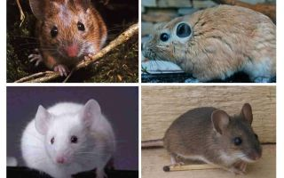 Die größte Maus der Welt