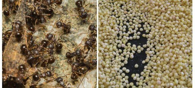 Hirse gegen Ameisen im Land