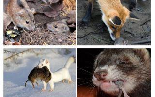 Wer isst Mäuse?