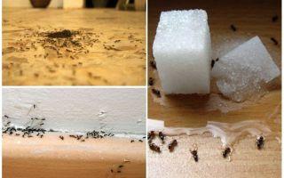 Wie man Ameisen von einer Wohnung zu Hause entfernt