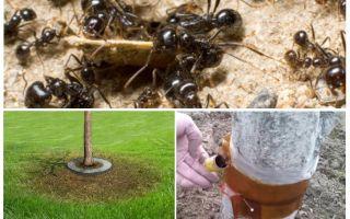 Ameisenfallen in den Bäumen mit ihren eigenen Händen