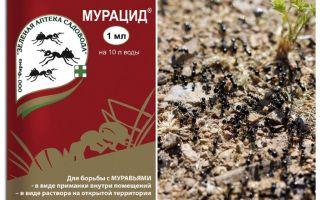 Ameisen Muracid
