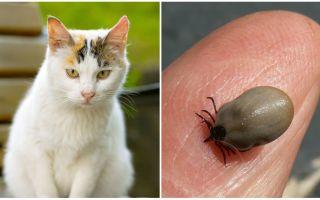 Was tun, wenn eine Katze von einer Zecke gebissen wird?
