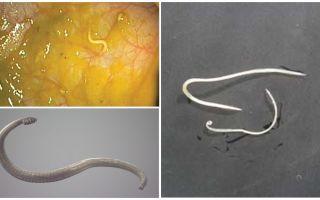 Wege der Pinworm-Infektion