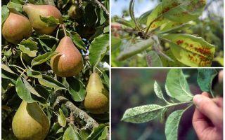 Wie man Blattläuse auf Birne loswird