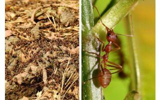 Was sind nützliche Ameisen?