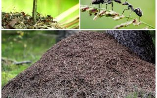 Auf welcher Seite des Baumes werden Ameisen Ameisenhaufen bauen?