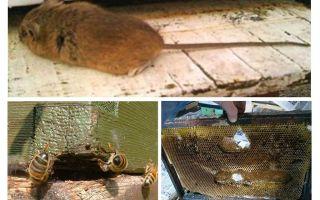 Wie man im Winter und Sommer eine Maus aus dem Bienenstock fährt