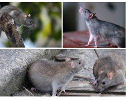 Wie viele Jahre haben Ratten gelebt