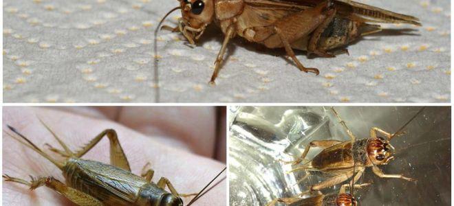 Beschreibung und Fotos von Bananen Cricket