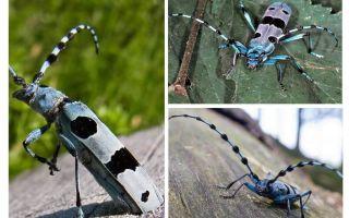 Alpiner Käfer