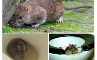 Kann eine Ratte aus der Toilette kommen?