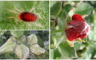 Wie man eine Rose von der Spinnmilbe verarbeitet