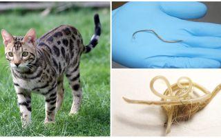 Symptome und Behandlung von Askariasis bei Katzen