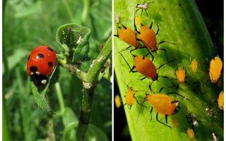 Marienkäfer und Blattlaus
