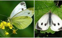 Beschreibung und Fotos von Raupen und Kohl Schmetterlingen