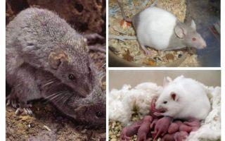 Zucht von Mäusen