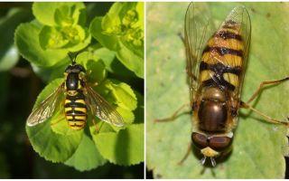 Beschreibung und Foto einer gestreiften Fliege, die einer Wespe ähnelt
