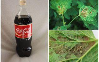 Coca-Cola aus Blattlaus