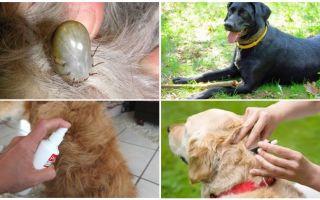 Die besten Medikamente für Hunde von Zecken und Flöhen