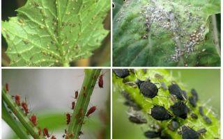 Wie man mit Blattläusen im Garten und im Garten der Volksmedizin fertig wird