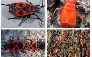 Der Käfer des Soldaten (rot flügellos flügellos)