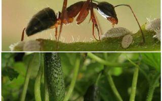 Wie man mit Ameisen im Garten mit Gurken umgeht
