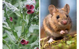 Pflanze schwarze Wurzel von Mäusen
