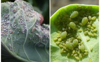 Wie und was man Blattläuse auf Kohl verarbeitet