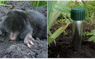 Wie man Mole im Sommerhäuschen und im Garten loswird
