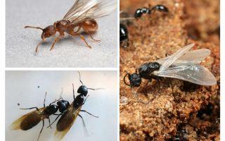 Geflügelte Ameisen